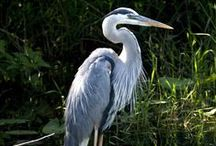 Herons ~ Books, Crafts, Decor, Photos, Toys / Inspiration based off of Longlegs the Heron, animal character in the Thornton W. Burgess books.