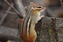 Chipmunks ~ Books, Crafts, Decor, Photos, Toys / Inspiration based off of Striped Chipmunk, character in the Thornton W. Burgess books. Classic literature for kids.