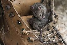 Mouse ~ Photography, Facts / Facts and photos of mice and voles. Inspiration: Danny Meadow Mouse - character from Thornton W. Burgess books