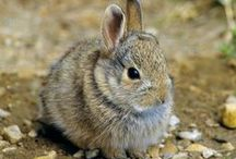 Rabbit ~ Photography, Facts / Facts and photos of rabbits. Inspiration: Peter Rabbit - character from Thornton W. Burgess books
