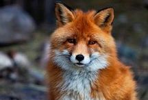 Fox ~ Photography, Facts / Facts and photos of foxes. Inspiration: Reddy Fox - character from Thornton W. Burgess books