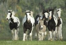 GYPSY VANNER / by Mary Dumke