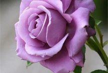 Rozen en meer! / Tuinieren met rozen