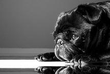 Pugs / Aquí recolecto imágenes de caninos de raza Pug. Tengo una perrita hermosa de esta raza.  / by Elisa Abreu