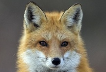 Red foxes ♥