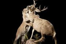 Taxidermy / taxidermy taxidermia