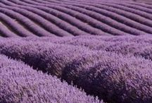 Lavender Fields / Here at Thesis, we absolutely love lavender!