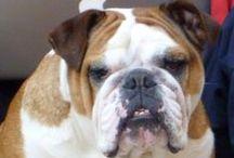 AREA BULLDOGS / TODO SOBRE BULLDOG INGLES Y BULLDOG FRANCES Fotos de nuestros pacientes....  www.mibulldog.com #bulldogfrances #bulldogingles #bulldog  La Clínica Veterinaria con más pacientes Bulldog de todo el planeta! Más de 20 años de experiencia en medicina y cirugía del bulldog nos avalan. Visita: www.bulldogs.es