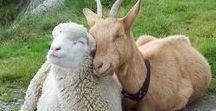 ANIMAUX de la FERME IMAGES / Les animaux que l'on regarde parfois même pas, vus par des artistes