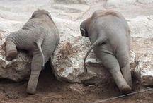 ELEPHANTS / Les éléphants...fantastiques