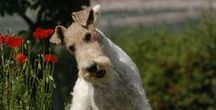 FOX TERRIER photos / I love you! Wire terrier