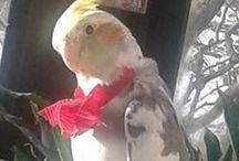 CALOPSITTES-COCKATIELS / Petits perrroquets adorables, chantant divinement bien
