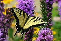 Butterfly Magnets / Consider planting a few of these to lure butterflies and keep them coming back for more! Butterflies especially like flowers that provide a flattened place for them to land and feed (umbel shaped). http://millionpollinatorgardens.org/