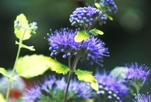 The Blues / It's all about blue -- blue flowers & blue toned foliage.
