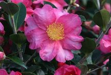 Crazy for Camellias / Camellias are pretty ubiquitous here in the Puget Sound area, and for good reason; they're easy to grow, evergreen, and are available in a range of sizes and gorgeous colors to suit a variety of landscapes. They are also great in containers -- some even offer fragrant flowers!