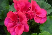 Gorgeous Geraniums / One of the best workhorse annuals out there! With minimal effort on your part, these summertime staples will begin blooming in spring and continue right through summer and into fall. This is just a sampling of what you'll find in-store.