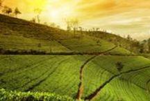 """Sri Lanka / Joyau de la courbe du golfe du Bengale, le Sri Lanka semble s'être détaché de la péninsule indienne pour conserver une forte identité, gage d'authenticité pour ses visiteurs. Anciennement connue sous le nom de Ceylan, l'île a repris en 1972 son nom le plus ancien, qui signifie """"le Vénérable Lieu"""". Sur cette terre majoritairement bouddhiste, les richesses naturelles côtoient de remarquables sanctuaires, certains d'entre eux y sont inscrits au patrimoine mondial de l'Unesco."""