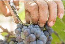 Grape harvest 2015