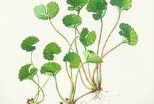 Herbal Folk