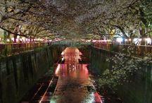 sakura / Meguro river, Japan