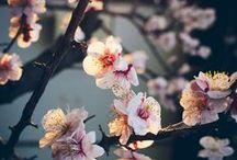 Cherry blossom / cherry blossom, cerisier, fleurs de cerisier