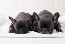 French bulldog love ❤