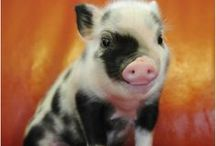 Pigs/Varkens