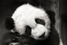 }-Osos Panda-{ / by Viviany (^;^) Reyes