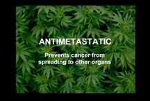 #1Cure4Cancer / 1 in 2 people are now diagnosed with Cancer. What's the cure? Proper education. Cannabis plant properties are Anti-Proliferative: Prevents cancer cells from reproducing | Anti-Angiogenic: Prevents formation of new blood vessels by tumor to grow | Anti-Metastatic: Prevents cancer from spreading to other organs | Apoptotic: Induces cell to seek it's own death. (Programmed Cell Death) | It's time for proper education on curing our diseases by utilizing cannabis as a dietary essential.