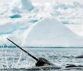 Narwhal Polar Bear Safari / Out on the floe edge of Baffin Island, surrounded by rugged mountains and stunning glaciers, our Narwhal and Polar Bear Safari will take you on an Arctic adventure like no other. Dramatic landscapes and the midnight sun welcome you to experience the beauty of the Canadian Arctic, 700 km north of the Arctic Circle.