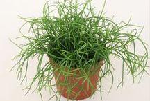 plants / wilczomlecz trójżebrowy i inne
