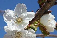 CILIEGIO - CHERRY - CERISE / La bellezza del ciliegio che è espressione della primavera.