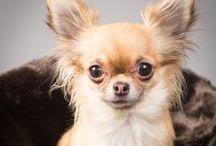 Cutest Chihuahuas