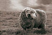 Schafe sheep / Animal Tier
