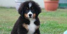 Maniuś Bernese Mountain Dog / Mój Piesek ukochany