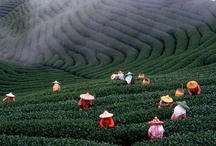 Tea Plantations / by My Tea Break