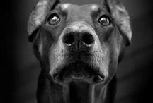 Dobermans et autres chiens / Chiens