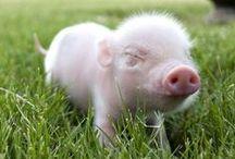 Pigs-yeah pigs
