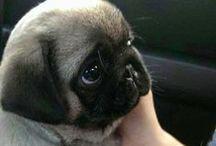 Pugs / Love my pugs