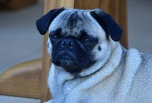 Pug named Cookie / Pug lovers . Pugs are family. My girl . Cookie.