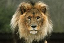 "040. Among beasts ........ / ""Among beasts I am the lion"" Bhagavad Gita 10.30"