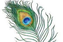 023. Krsna's bird - the Peacock