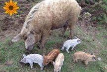 Mangalitza Pigs & Pork / A look at mangalitza (or mangalitsa) piggies and pork from our farm and beyond.