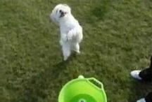 Videos of GoDogGo Fetch Machine Automatic Ball Thrower for Dogs / See GoDogGo Fetch Machine in action with dogs that love to FETCH and play BALL @ http://www.godoggoinc.com/videos.html OR http://www.facebook.com/pages/GoDogGo-Fetch-Machine-Automatic-Ball-Launcher-for-Dogs/117623771644508?sk=videos