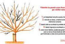 Tăierile la pomii fructiferi