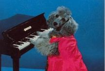 Poodle Power / poodles playing piano.