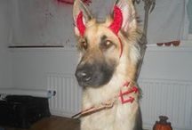 Frans, GSD / My male german shepherd. ^^ My blog: http://sakemannielamaa.blogspot.fi/ Sorry only in finnish.