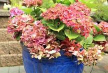 Plants and Gardening / Hydrangeas, Orchards, NZ natives, hints and tips, basically anything that I find helpful when it comes to growing plants and looking after a garden, big or small.