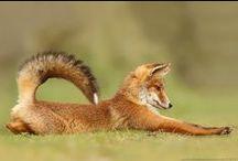 Лисицы/Fox