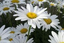 Daisy / Daisies Make Me Smile / by Teri B